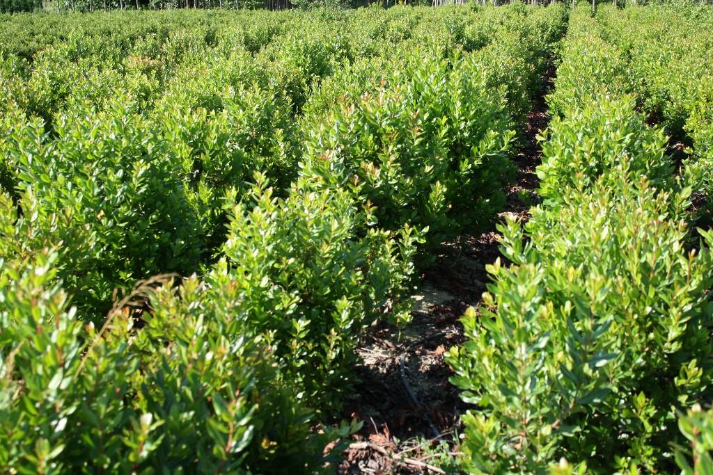 Coltivazione in pieno campo vivai piante menotti melani for Acquisto piante