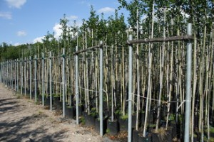 Vivaio Margine Rosso : Ilex « vivai piante menotti melani